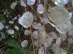 Silver dollar plants/Lunaria annua